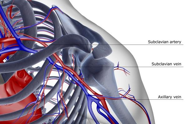 The blood supply of the shoulder | Science and Technology
