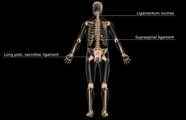 The ligamentous system | Science and Technology