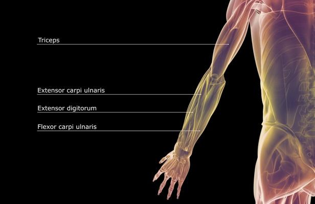 The muscles of the upper limb | Science and Technology