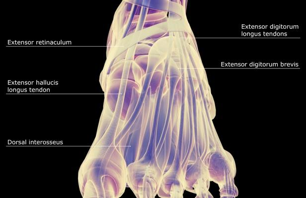 The muscles of the foot | Science and Technology