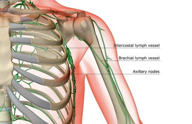The lymph supply of the shoulder | Science and Technology