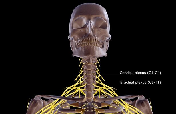 The nerves of the neck | Science and Technology