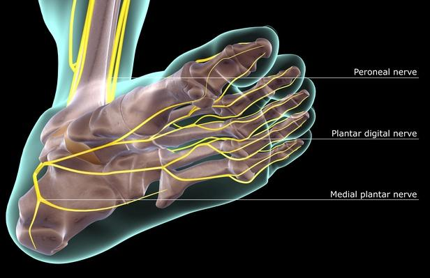 The nerves of the foot | Science and Technology