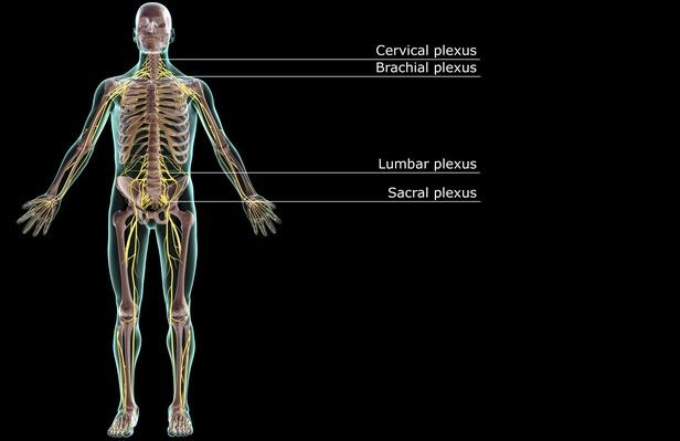 The nervous system | Science and Technology