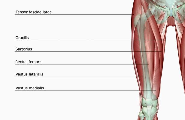The musculoskeleton of the thigh | Science and Technology