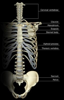 The Thorax | Science and Technology