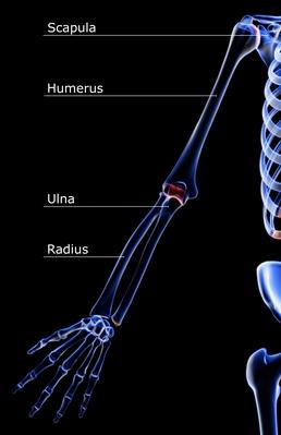The bones of the upper limb   Science and Technology