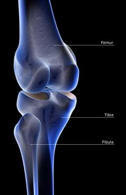 The bones of the knee | Science and Technology