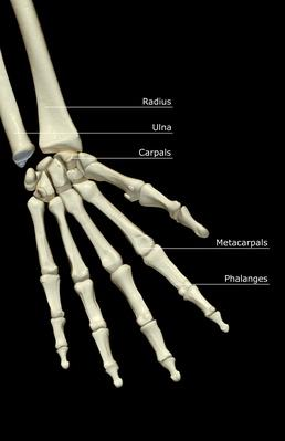 The bones of the hand | Science and Technology