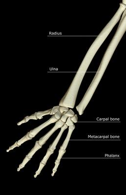 The bones of the forearm | Science and Technology
