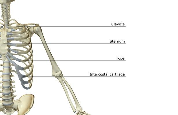 The bones of the upper limb | Science and Technology