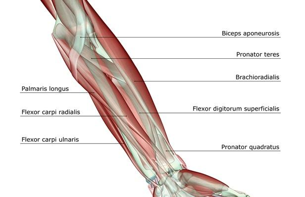 Forearm musculoskeleton | Science and Technology