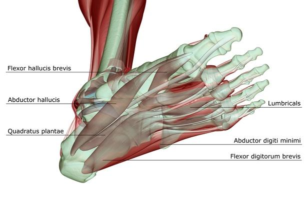 The musculoskeleton of the foot | Science and Technology