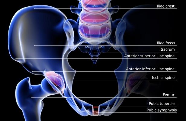 The bones of the pelvis | Science and Technology