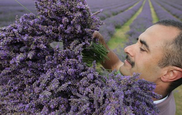 The English Lavender Harvest | Agriculture and Forestry