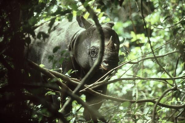 javan rhinoceros: rhinoceros sondaicus  ujung kulon, java, i ndonesia