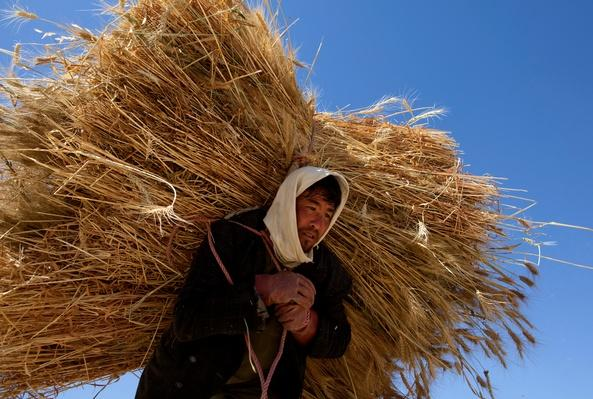 Afghans harvest Wheat As Opium Trade Declines | Agriculture and Forestry