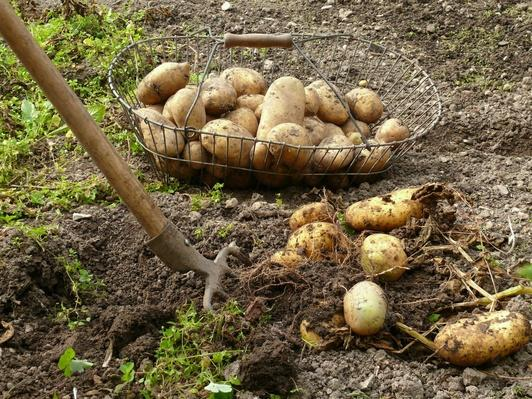 Potatoes | Earth's Resources