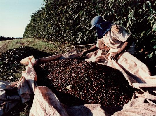 Coffee Harvesting, Alfenas, Mg | Earth's Resources