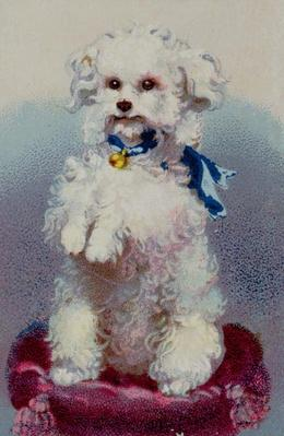 Poodle with blue ribbon