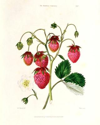 The Roseberry Strawberry, engraved by Watte, pub. by Thomas Kelly, London 1830