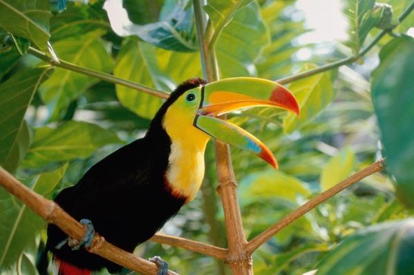 Keel-billed toucan (Ramphastos sulfuratus), Costa Rica | Animals, Habitats, and Ecosystems