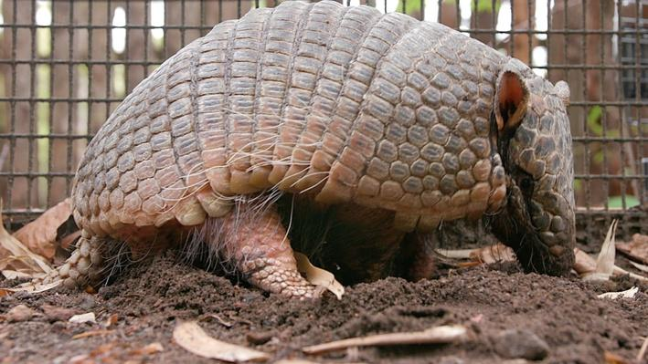 Paws for a Minute   Armadillo