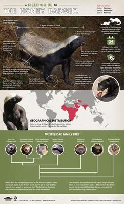 A Field Guide to the Honey Badger
