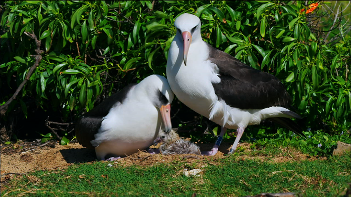 Albatross Females Raising Chicks Together