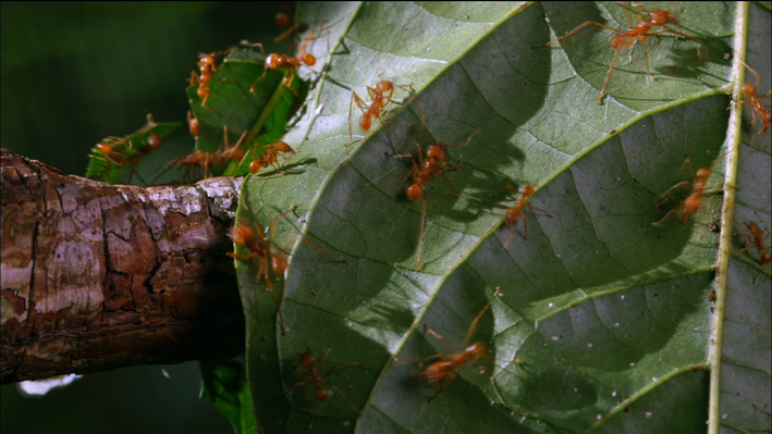 Leaf-Cutter Ants: A Farming Super-organism