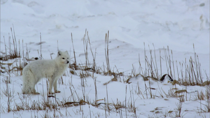 Climate Change Contributes to Competition Between Red and Arctic Foxes