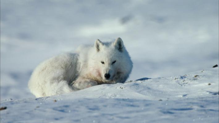 Climate Change is Disrupting Arctic Food Webs
