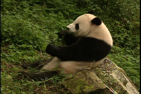 Bamboo Mountain: China's Pandas
