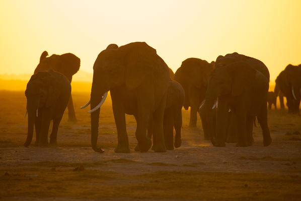 Altered Elephant Behavior