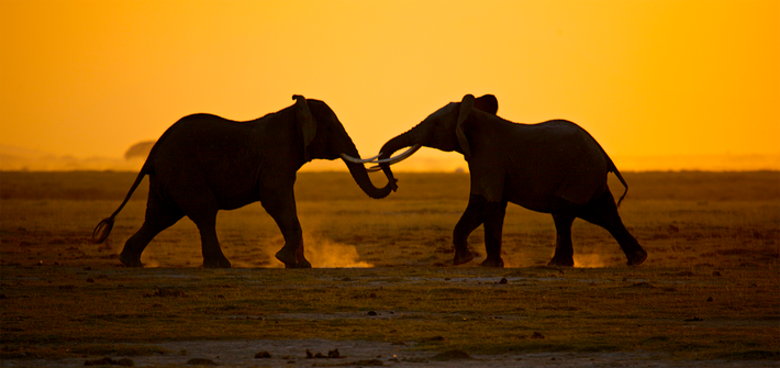 Two Young Elephants Play at Dusk