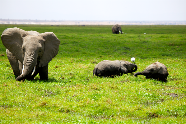 Elephants Cool Off in the Swamp