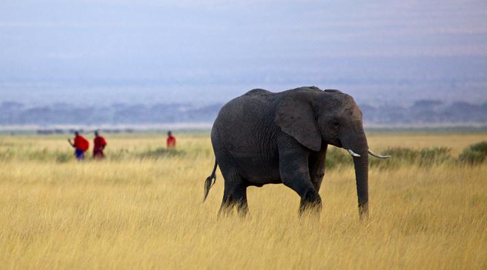 Elephant Wandering