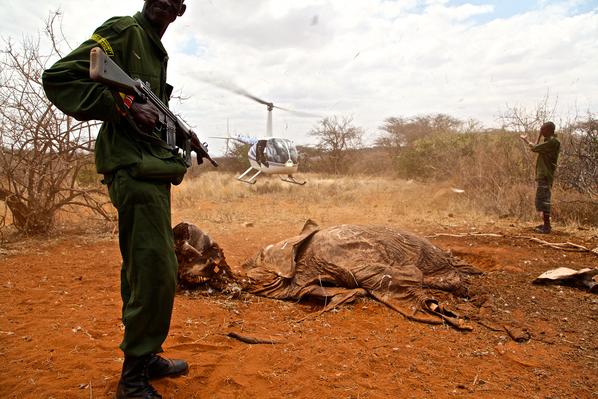 A Poached Elephant Carcass