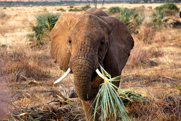 Young Elephant Snacking on a Doum Palm