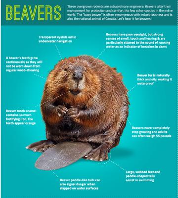 Infographic: Beavers 101
