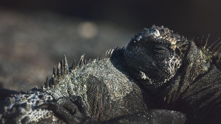 Galapagos Marine Iguana | Big Pacific: Voracious
