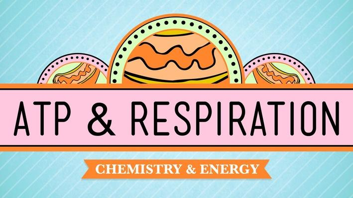 ATP & Respiration | Crash Course Biology