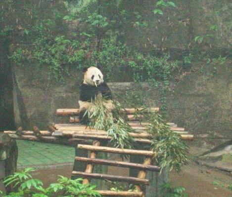 Pandas at the Chongqing Zoo (2)
