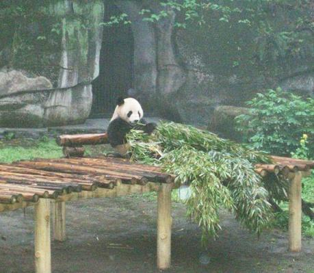 Pandas at the Chongqing Zoo