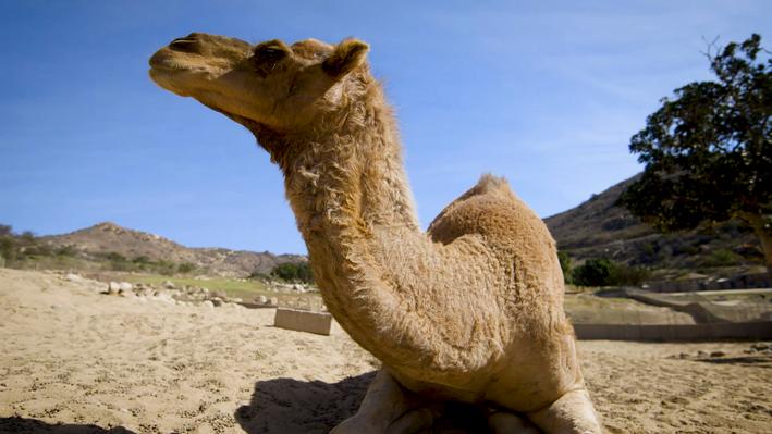 Camels | San Diego Zoo Kids