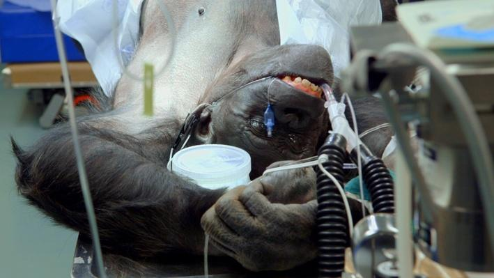 Chimps Get Heart Monitors | Operation Wild