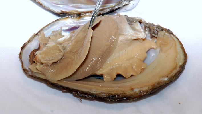 Dissection 101 | Clam Dissection Photos