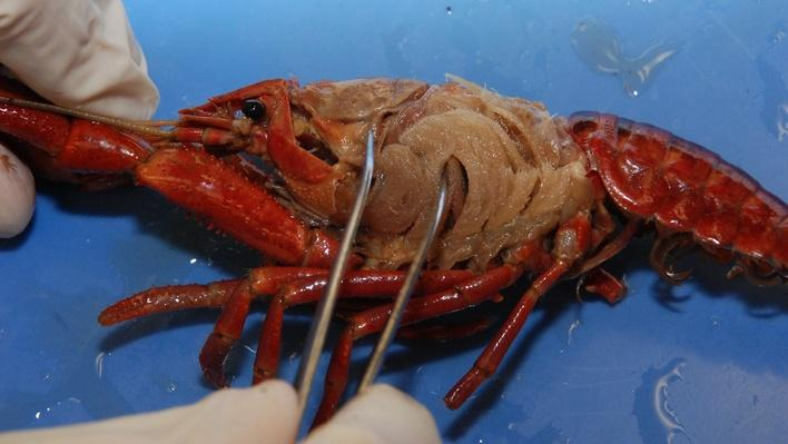 Dissection 101 | Detailed Crayfish Dissection (Part 2 of 2)
