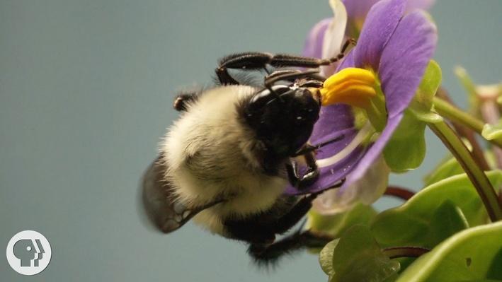 This Vibrating Bumblebee Unlocks a Flower's Hidden Treasure | Deep Look