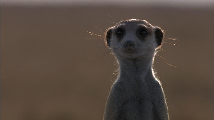 Meerkats: Desert Specialists